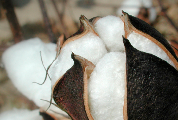 Gossypium Herbaceum (Cotton) Seed Oil
